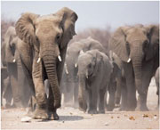 Homicidal teen elephants may explain impact of mass incarceration, single parent homes