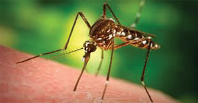 Mosquito1 Florida Department of Health reminds residents to 'DRAIN and COVER'