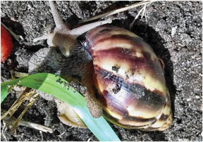 Giant-African-Snail
