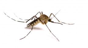 mosquito-hi-res-735x400